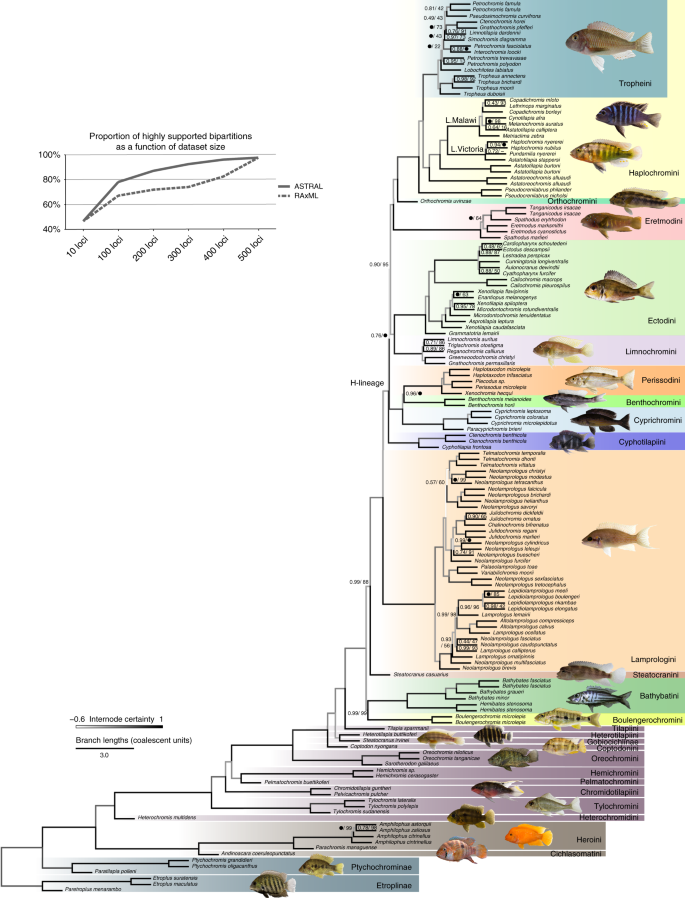 Phylogenomics uncovers early hybridization and adaptive loci