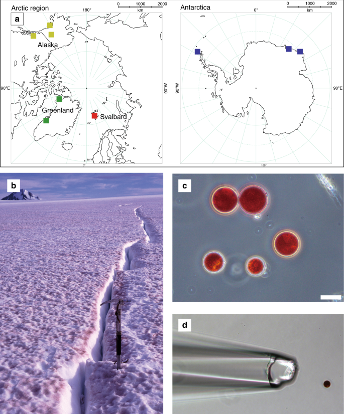 sampling sites and red-pigmented green algae causing red snow phenomena  a  map showing the locations of red-snow sampling sites  b representative  photograph