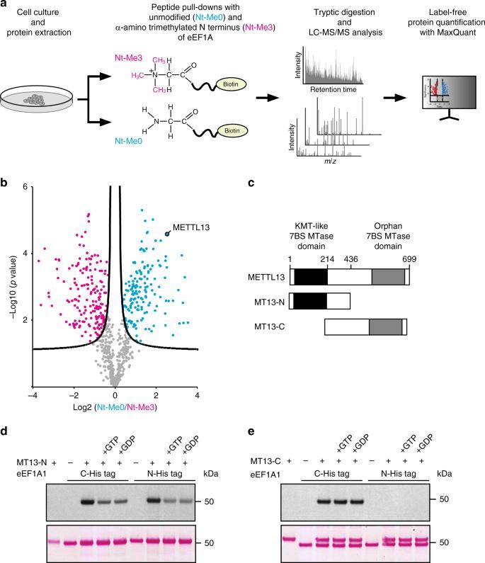 The dual methyltransferase METTL13 targets N terminus and
