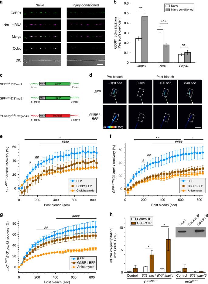 Axonal G3BP1 stress granule protein limits axonal mRNA