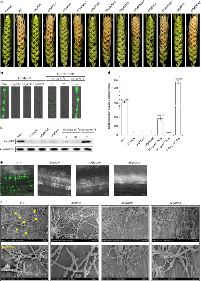 Wheat microbiome bacteria can reduce virulence of a plant pathogenic