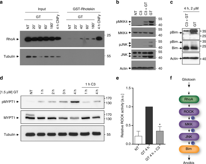 Identification of a novel anoikis signalling pathway using