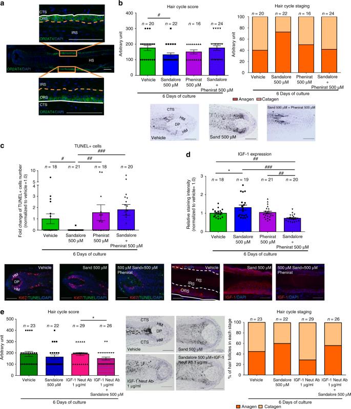 Olfactory receptor OR2AT4 regulates human hair growth