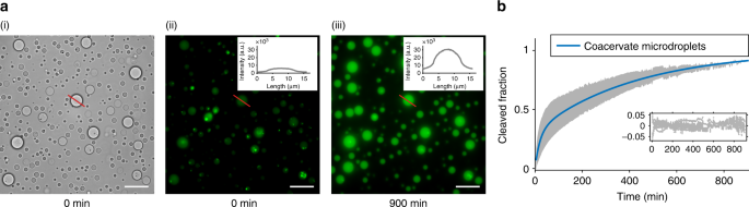 Compartmentalised RNA catalysis in membrane-free coacervate