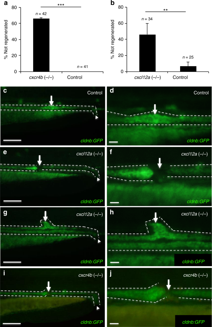 CXCL12 and MYC control energy metabolism to support adaptive