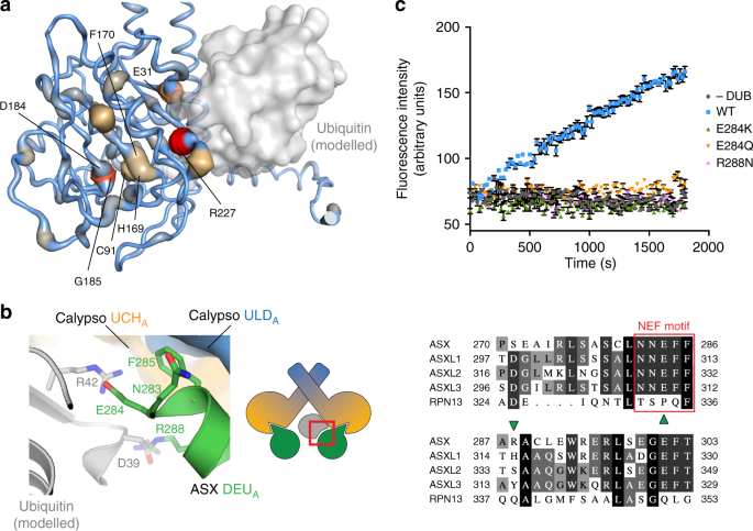 A bidentate Polycomb Repressive-Deubiquitinase complex is required