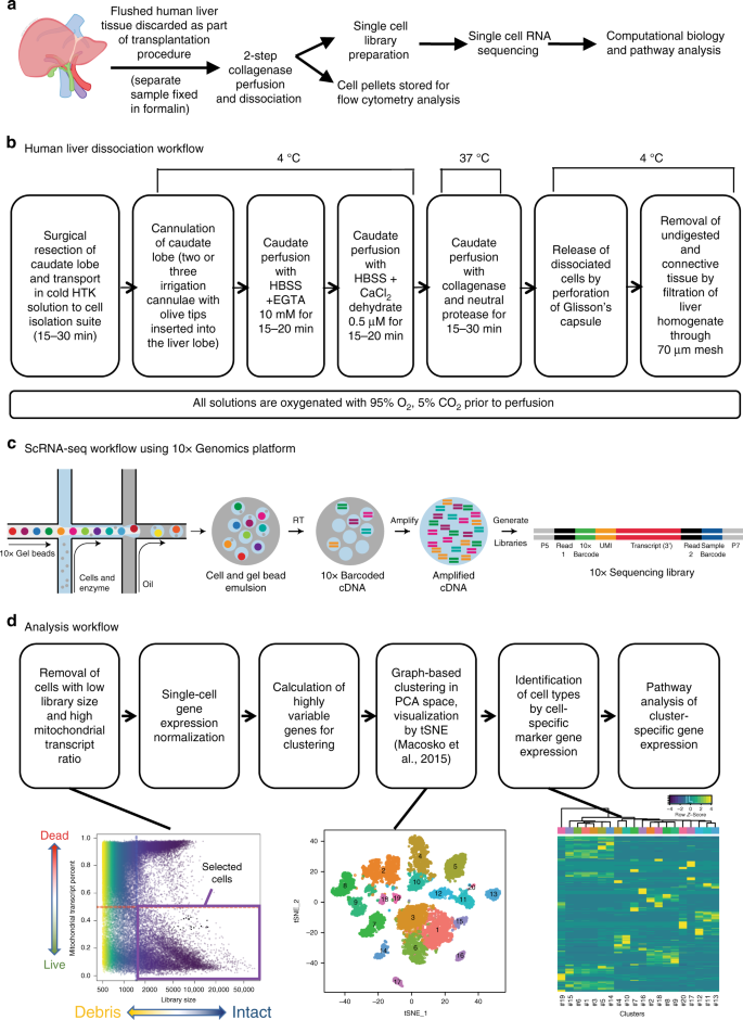 Single cell RNA sequencing of human liver reveals distinct