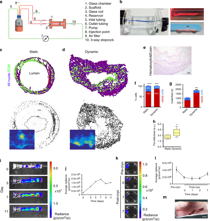 Multi-stage bioengineering of a layered oesophagus with in vitro