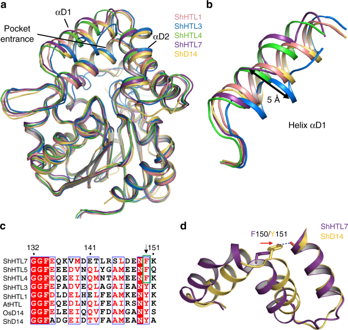 Structural analysis of HTL and D14 proteins reveals the basis for