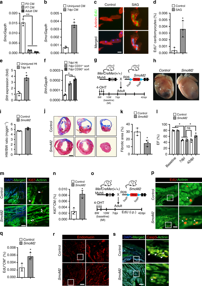 A conserved HH-Gli1-Mycn network regulates heart regeneration from