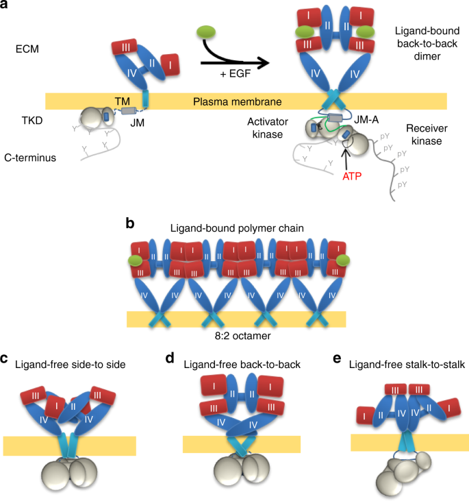 The architecture of EGFR's basal complexes reveals