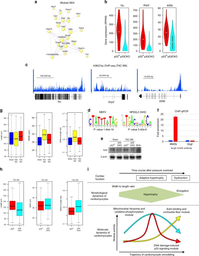 Cardiomyocyte gene programs encoding morphological and functional