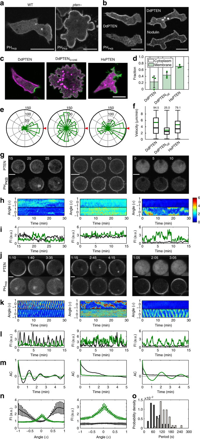 Mutual inhibition between PTEN and PIP3 generates bistability for polarity  in motile cells | Nature Communications