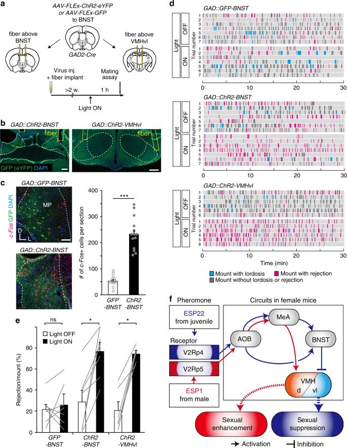 Sexual rejection via a vomeronasal receptor-triggered limbic