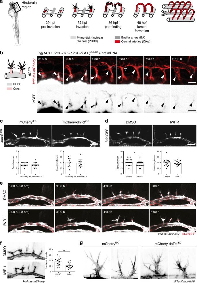 Wnt/β-catenin signaling regulates VE-cadherin-mediated