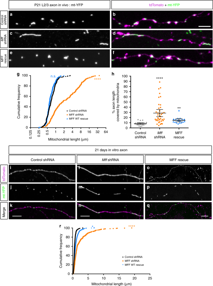 MFF-dependent mitochondrial fission regulates presynaptic release