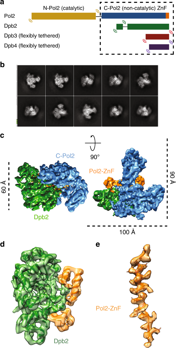 Structure of DNA-CMG-Pol epsilon elucidates the roles of the non