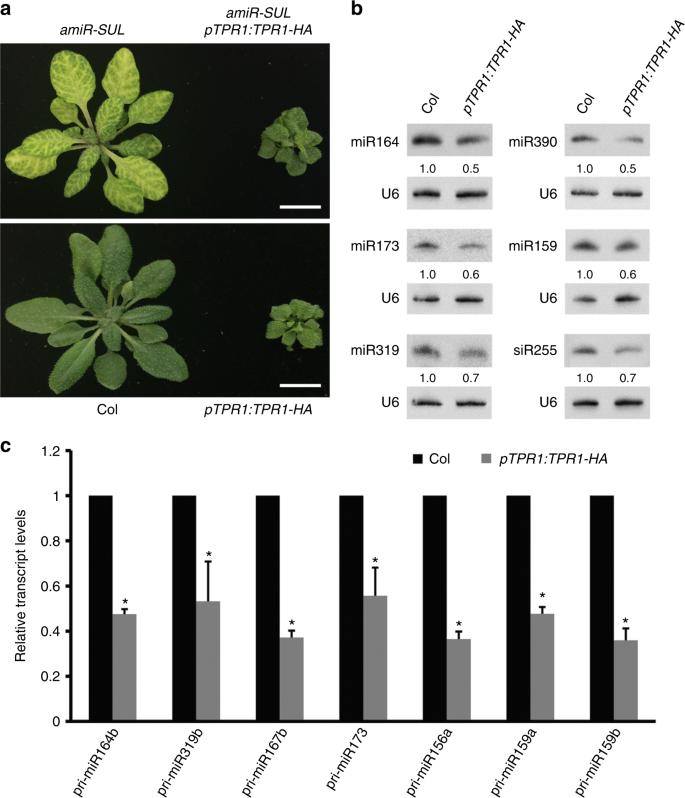 The disease resistance protein SNC1 represses the biogenesis of