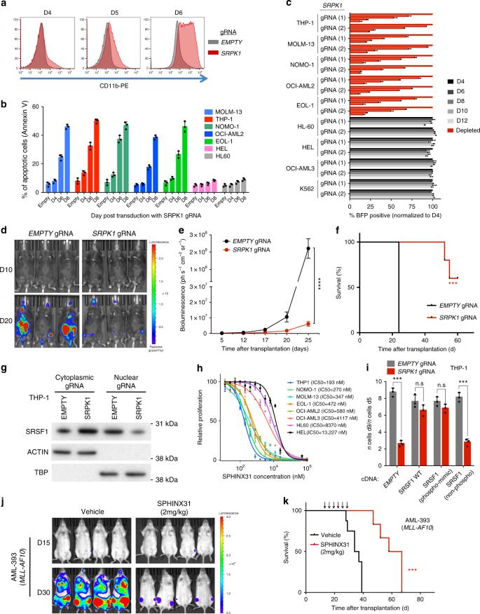 SRPK1 maintains acute myeloid leukemia through effects on