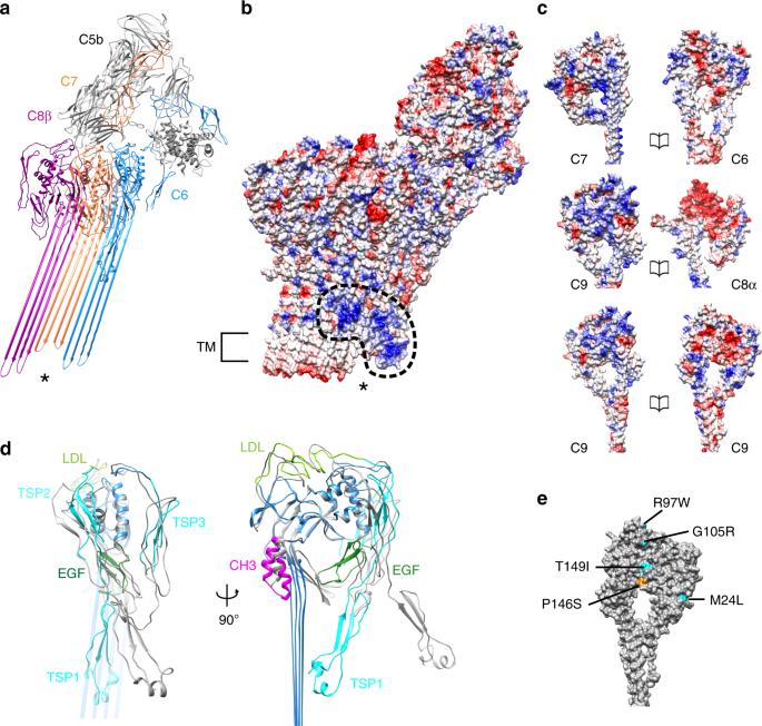 CryoEM reveals how the complement membrane attack complex ruptures