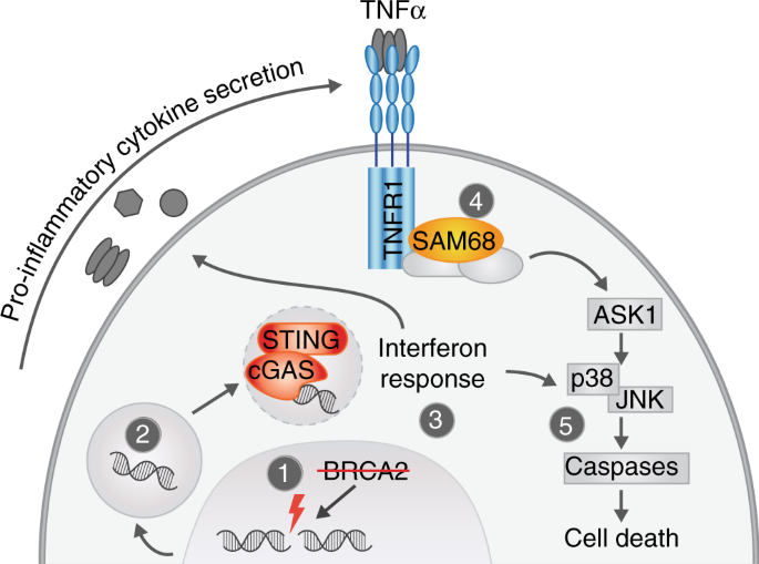BRCA2 deficiency instigates cGAS-mediated inflammatory signaling and