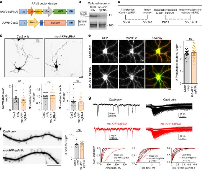CRISPR/Cas9 editing of APP C-terminus attenuates β-cleavage and