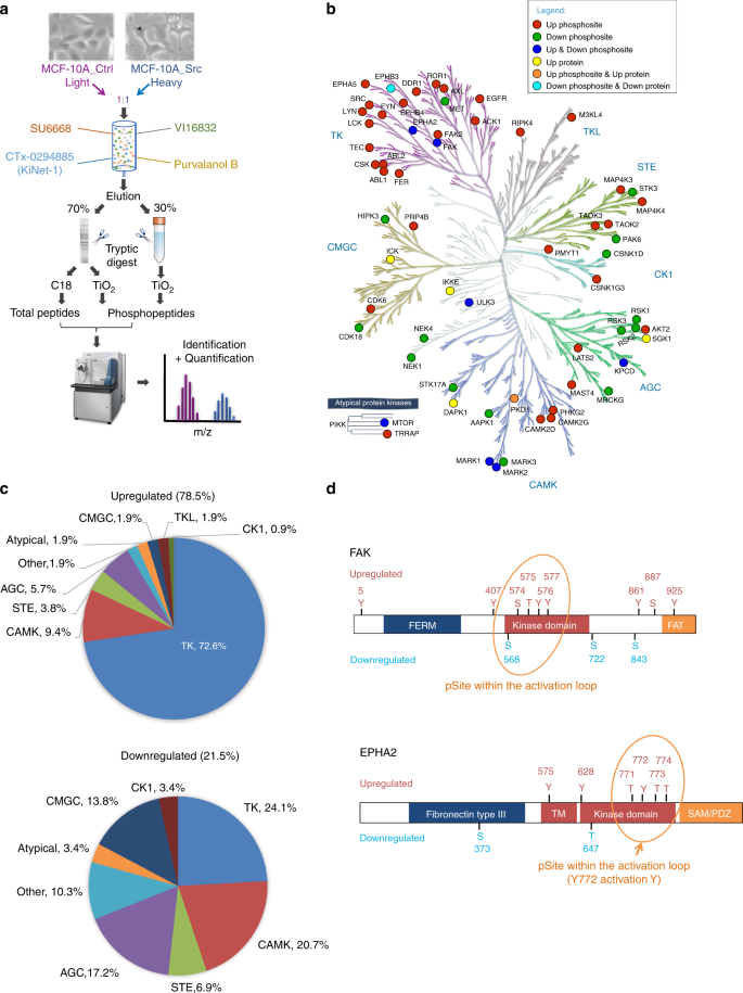 Characterization of the Src-regulated kinome identifies SGK1 as a