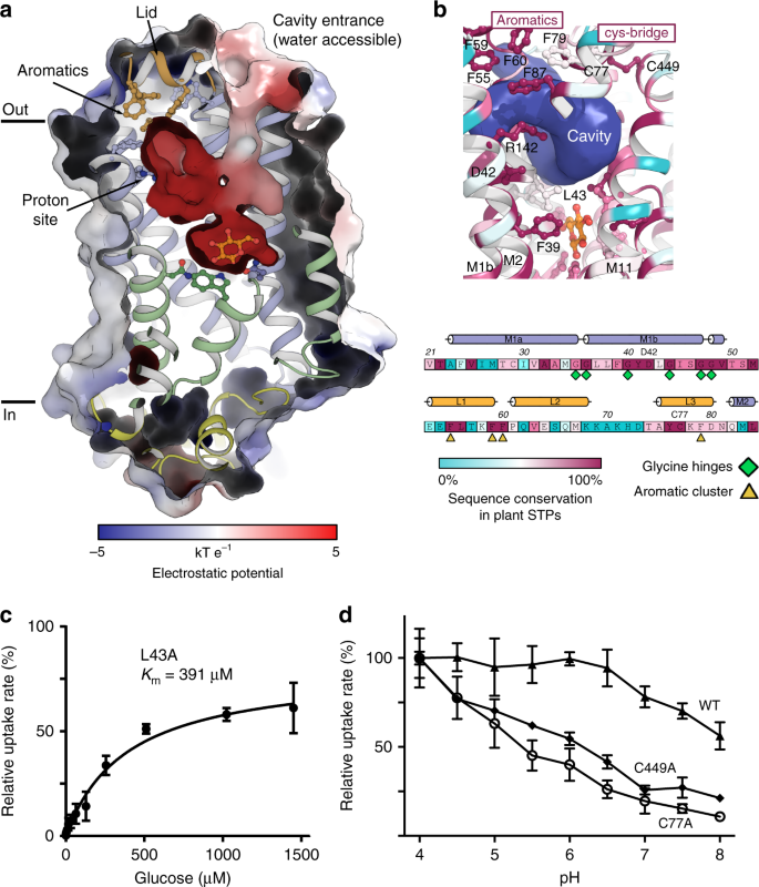 Crystal structure of the plant symporter STP10 illuminates
