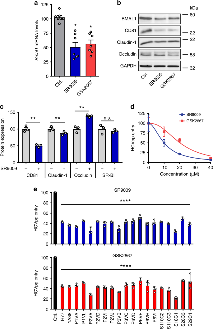 The circadian clock components BMAL1 and REV-ERBα regulate