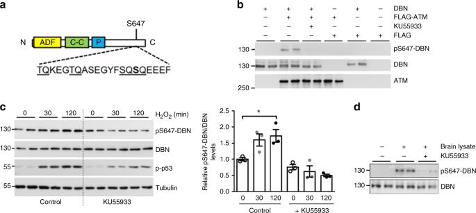 ATM phosphorylation of the actin-binding protein drebrin