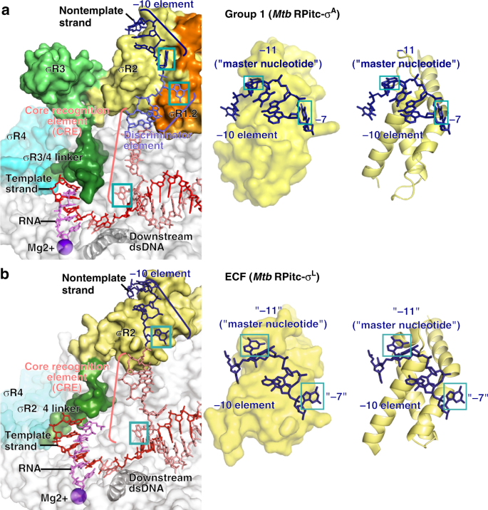 Structural basis of ECF-σ-factor-dependent transcription initiation