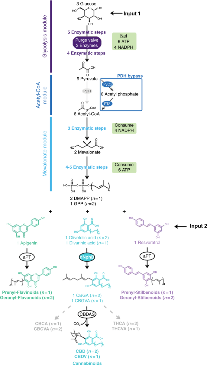 A cell-free platform for the prenylation of natural products
