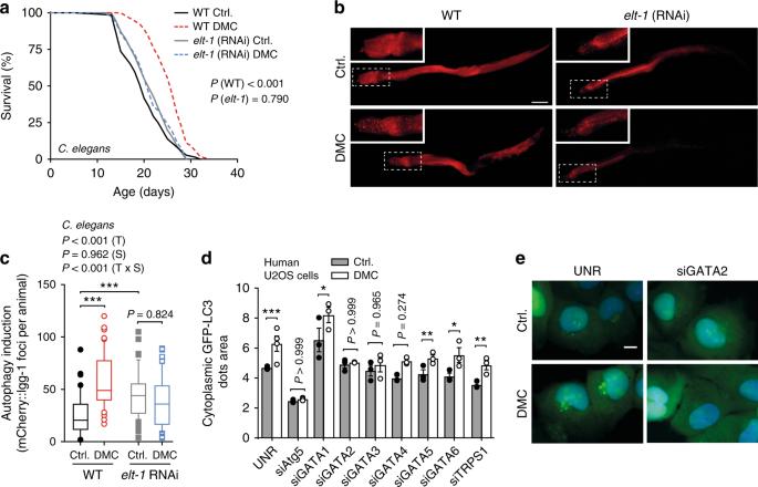 The flavonoid 4,4′-dimethoxychalcone promotes autophagy-dependent