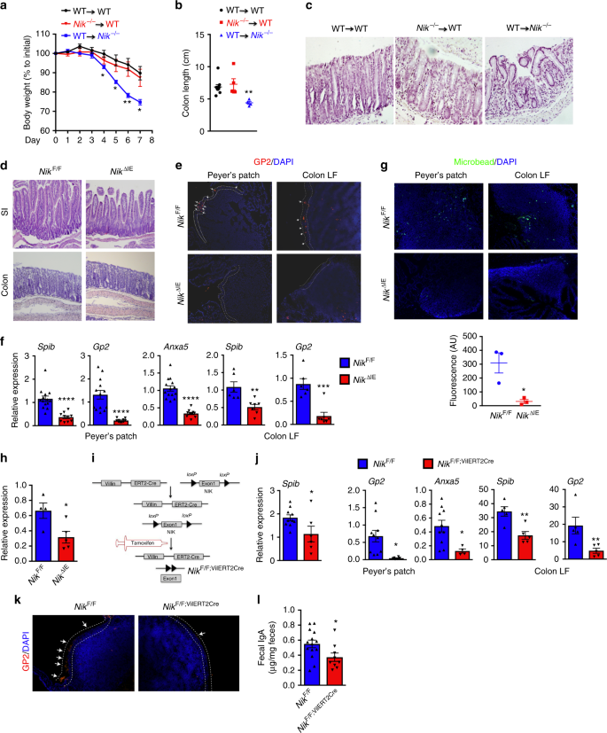 86c9d653ba5 ... essential for M-cell maintenance. a–c Body weight (a), colon length  (b), and H&E analysis (c) of WT and global NIK knock out (Nik−/−) mice  following ...