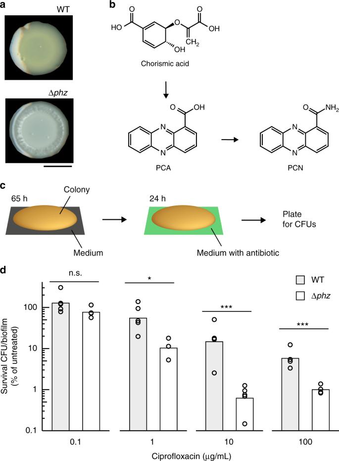 Phenazine production promotes antibiotic tolerance and