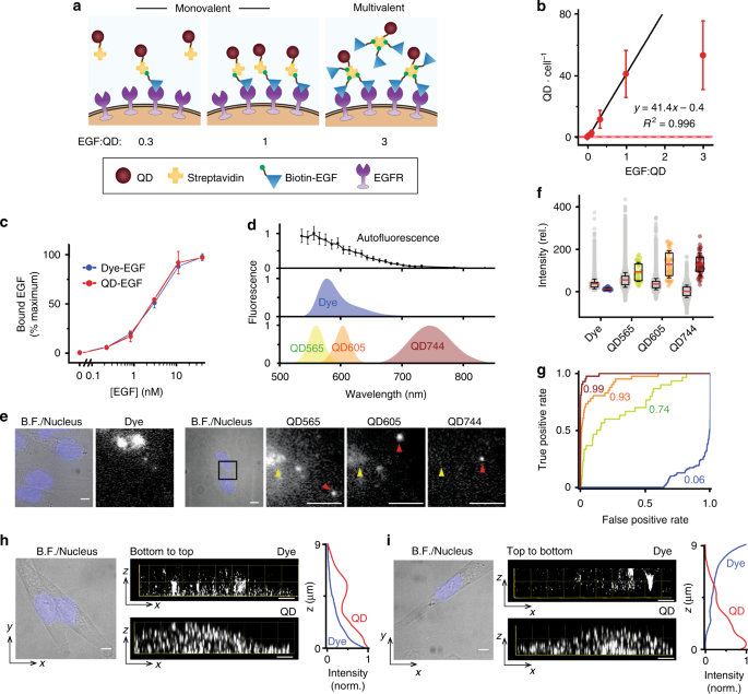 Counting growth factors in single cells with infrared quantum dots