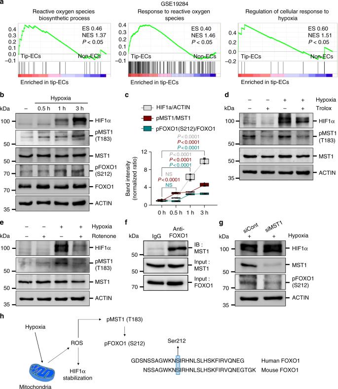 A MST1–FOXO1 cascade establishes endothelial tip cell
