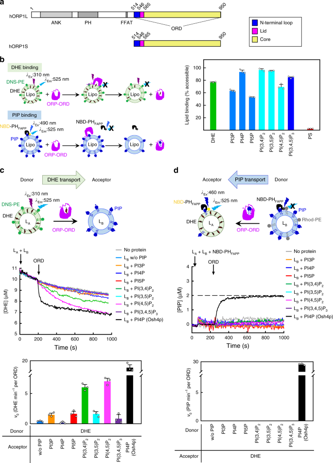 Allosteric enhancement of ORP1-mediated cholesterol transport by PI
