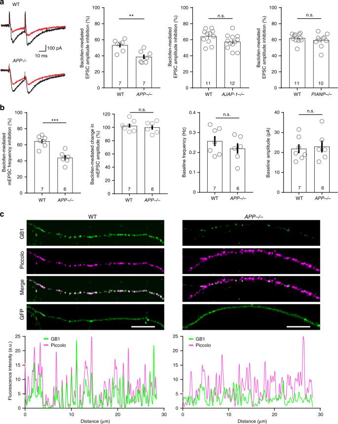 Complex formation of APP with GABA B receptors links axonal