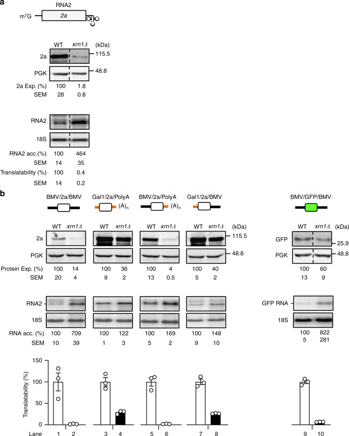 The Exonuclease Xrn1 Activates Transcription And Translation Of Mrnas Encoding Membrane Proteins Nature Communications