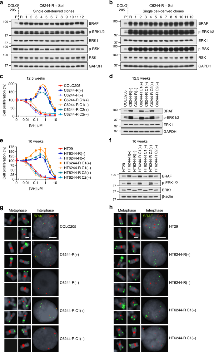 576383fbd90d BRAF amplification is reversible in cells with acquired resistance to MEKi.  a, b Non-clonal COLO205 cells with acquired resistance to selumetinib  (C6244-R ...