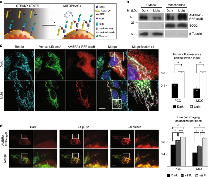 Reversible induction of mitophagy by an optogenetic bimodular system
