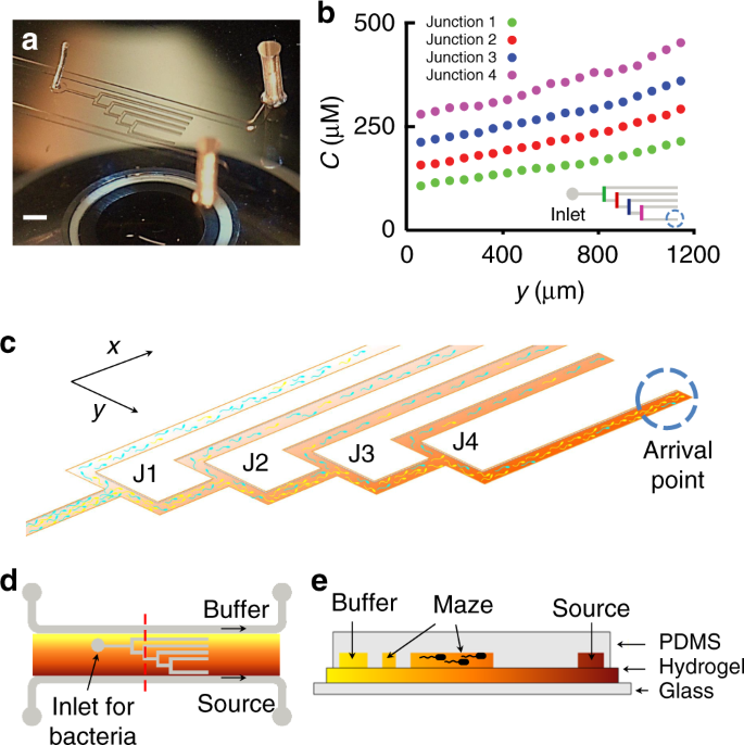 Bacterial chemotaxis in a microfluidic T-maze reveals strong