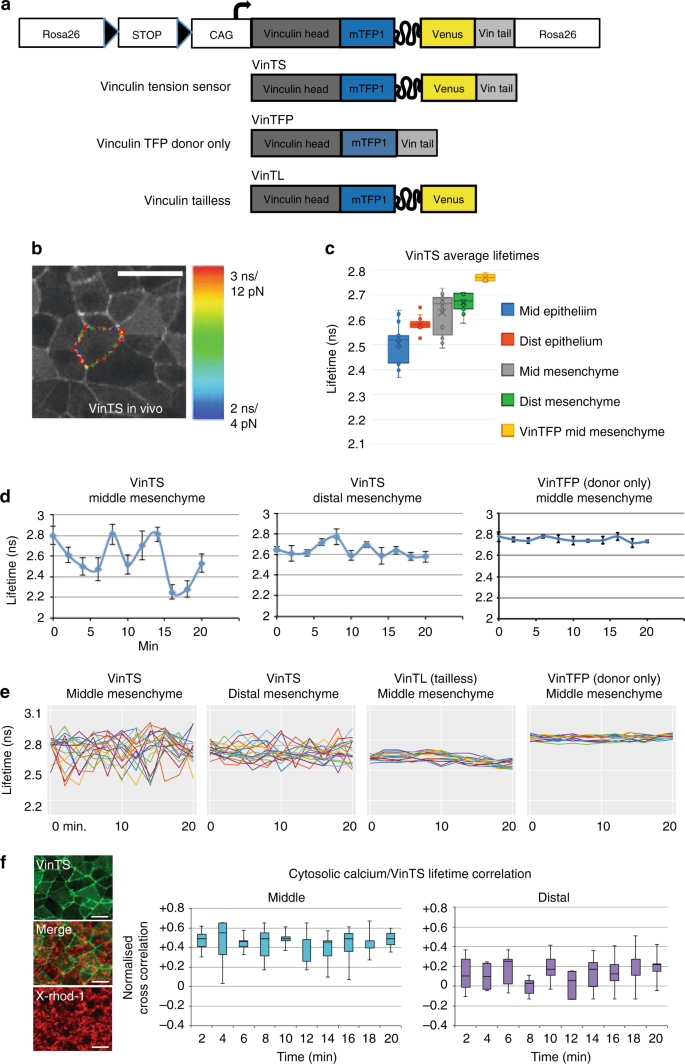 Oscillatory cortical forces promote three dimensional cell