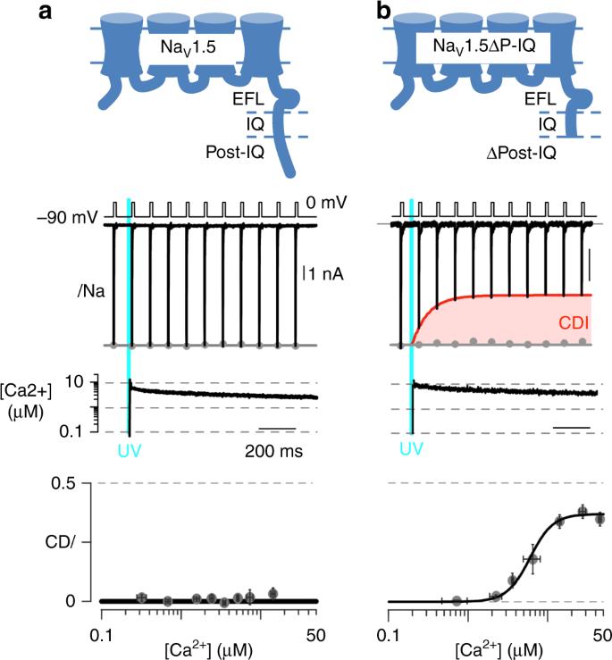 Ca 2+ -dependent regulation of sodium channels Na V 1 4 and Na V 1 5