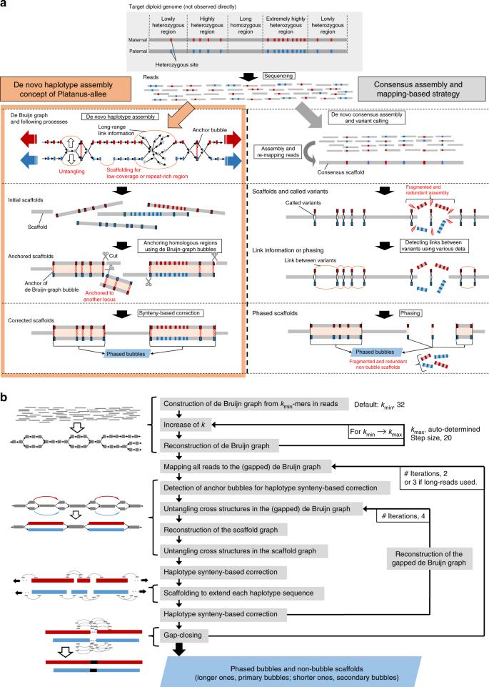 Platanus-allee is a de novo haplotype assembler enabling a