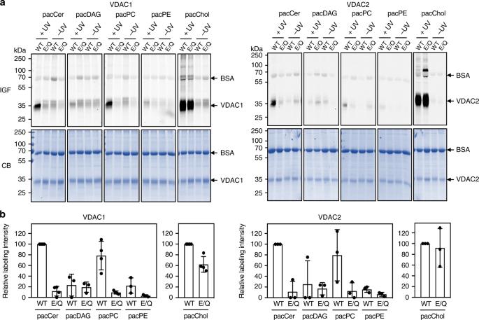 Ceramides bind VDAC2 to trigger mitochondrial apoptosis | Nature