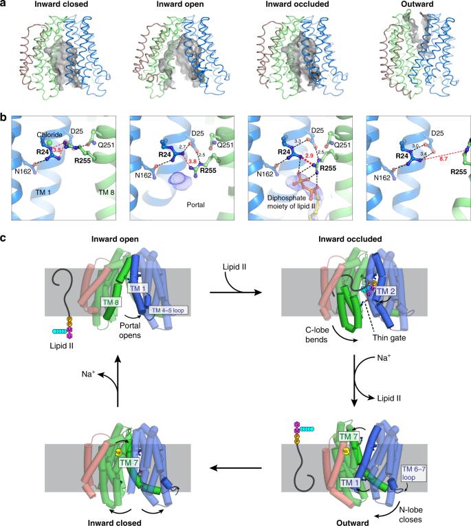 Visualizing conformation transitions of the Lipid II flippase MurJ