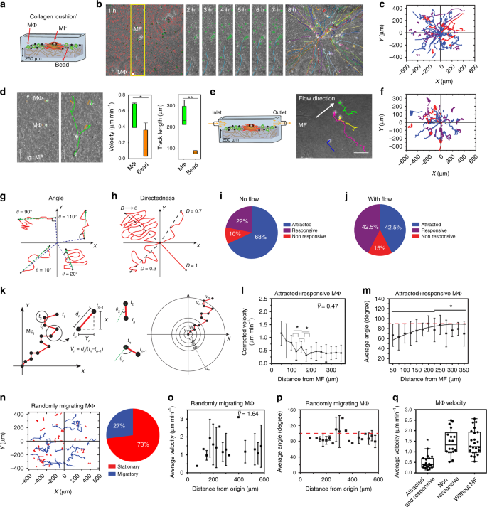 Dynamic fibroblast contractions attract remote macrophages