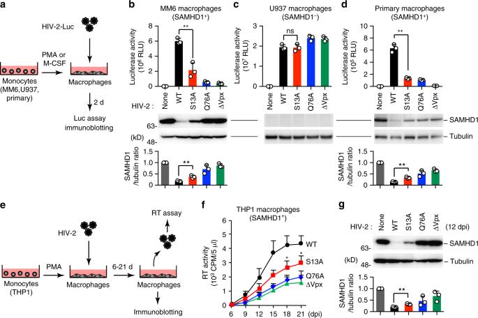 PIM kinases facilitate lentiviral evasion from SAMHD1 restriction